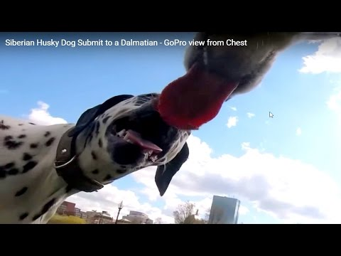 Siberian Husky Dog Submits to a Dalmatian to Avoid Bully- GoPro view from Chest