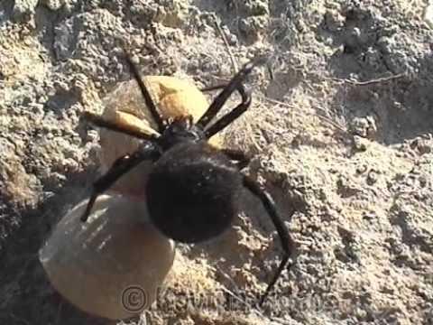 © Каракурты рядом! Каракурты везде. Черная вдова-самый ядовитый паук Европы в Украине