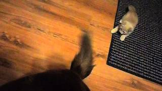 Cute Kitten: Mr. Tones playing with dogs Tail