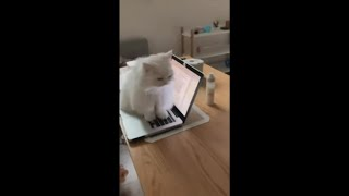 Cat Sitting on Owner Keyboard Refusing to Let Her Work