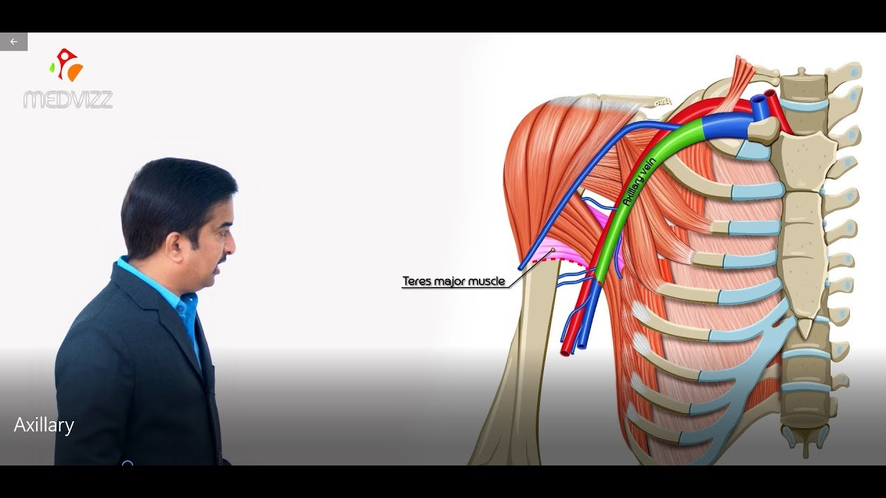 Axillary vein and its tributaries - Upper limb gross anatomy , Dr G ...