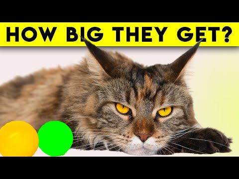 Maine Coon Cats 101  16 Reasons They're Amazing