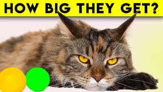 16 Facts About Maine Coon Cats - Are They a Good Choice?