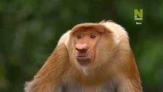 Cuộc sống ở đầm lầy rộng lớn - Thiên đường hoang dã của Borneo - Kinabatangan, MALAYSIA