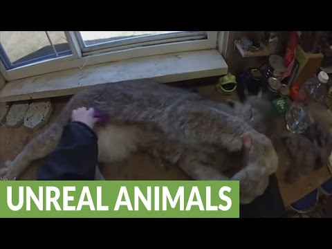 Thumbnail: Canada lynx absolutely loves being brushed