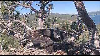 7-17-19 Big Bear Eagles~  Shadow Brings Simba A Late Lunch! thumbnail