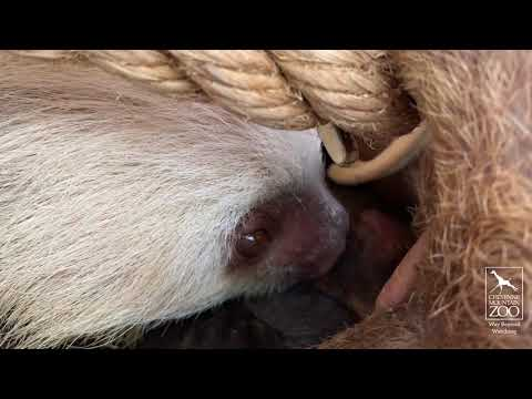 Laura - Cheyenne Mountain Zoo posts adorable video of baby sloth