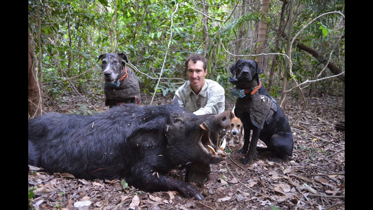 Wild Boar Hunting With Dogs Action Compilation Part 2 Youtube