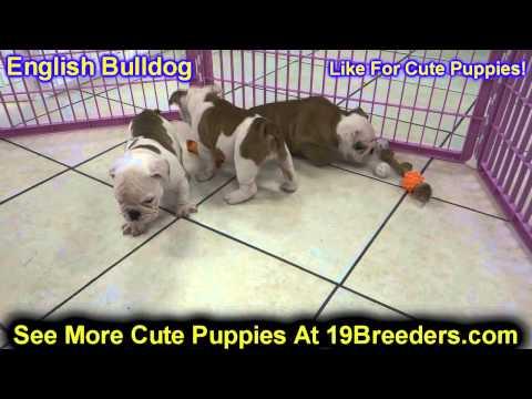 English Bulldog, Puppies, For, Sale, In, Oklahoma City, Oklahoma, OK, Warr Acres, Guthrie, Weatherfo