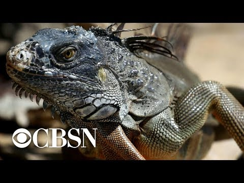 Florida declares open season on green iguanas