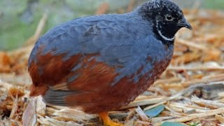 Китайский расписной перепел / Chinese painted quail