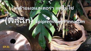 P.31 พลูฉีก Epipremnum Pinnatum เลี้ยงง่าย โตไว ใบฉีกสวย