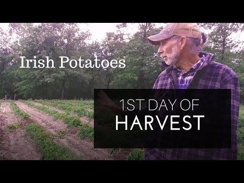1st Day of Irish Potato Harvest