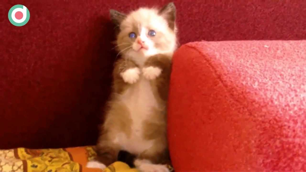 Shy Cat Scared Of Vacuum Sound - Cute Kitten Scared - YouTube