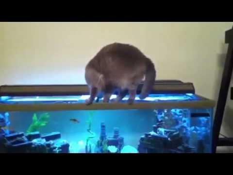Cat Falls In Fish Tank