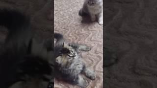Шотландские котята.Екатеринбург.резерв.