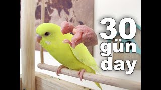 New Born Baby Budgie Chick 1 To 30 Day Growth Stages