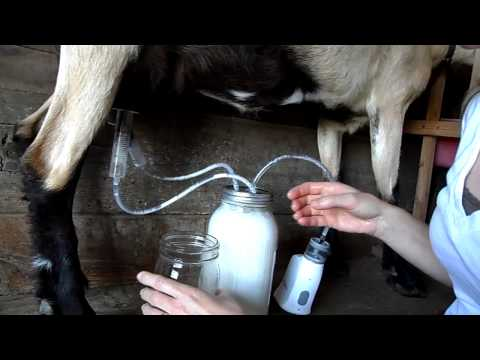 Using the Fruit Jar Milker