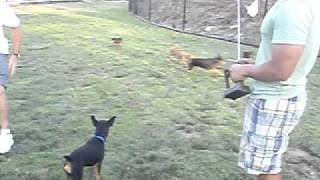San Diego Miniature Pinscher Meetup Pack Trying To Kill Rc Car