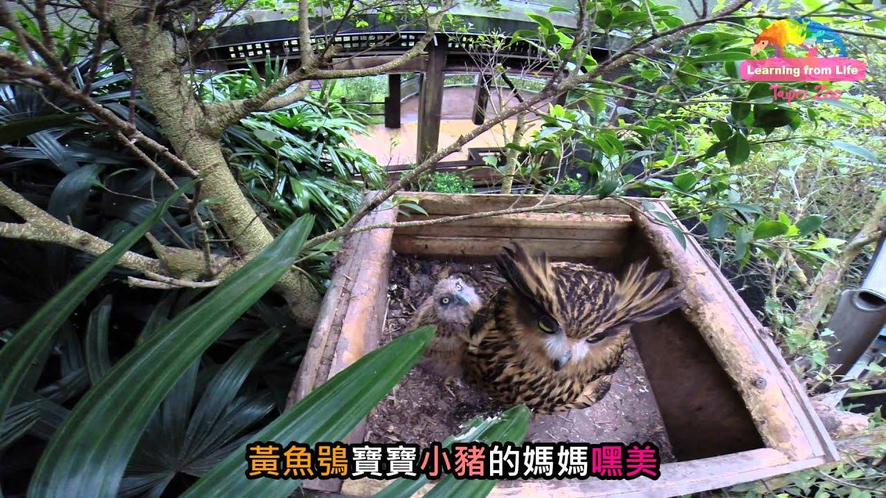 苦守寒巢逾二十載-黃魚鴞嘿美終得子 Newborn Baby Tawny Fish Owl