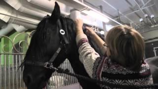 Повторное чипирование фризской лошади