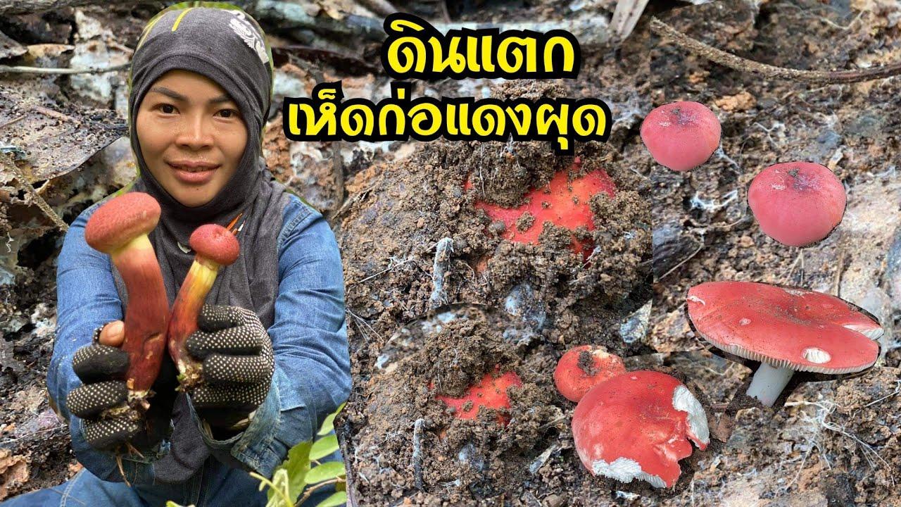 ว้าว! เห็ดก่อแดงกำลังผุดออกจากดิน เห็ดดอกใหญ่มากมีเกือบทุกเห็ด/ /27ก.ค.64