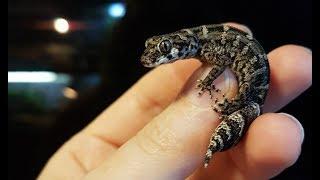 Снимаю шкурку с гадюкового геккона. Это не то, о чём вы подумали.