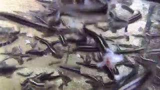 ゴンズイ300匹へ餌やり(稚魚大量)学名:Plotosus lineatus