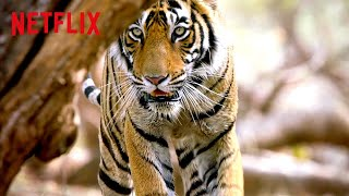 Bengal Tiger on the Hunt 🐅 Life in Color with David Attenborough | Netflix Futures