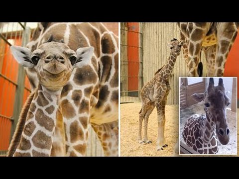 Thumbnail: Giraffe Gives 'Surprise' Birth While The World Watches Another In Labor