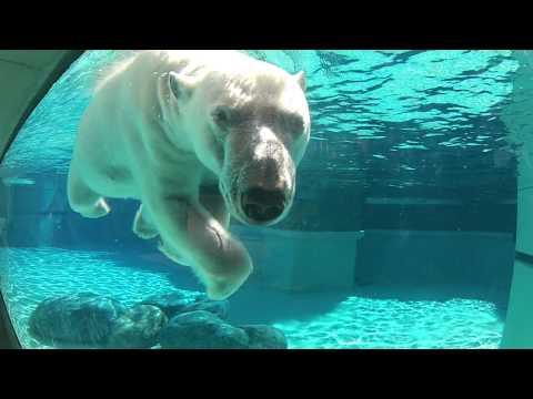 Run for the Lincoln Park Zoo with Anana the Polar Bear