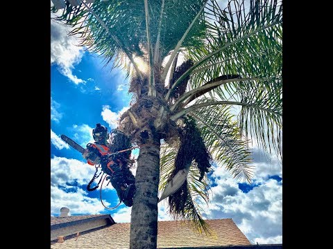 Removal queen palm tree stump grinder