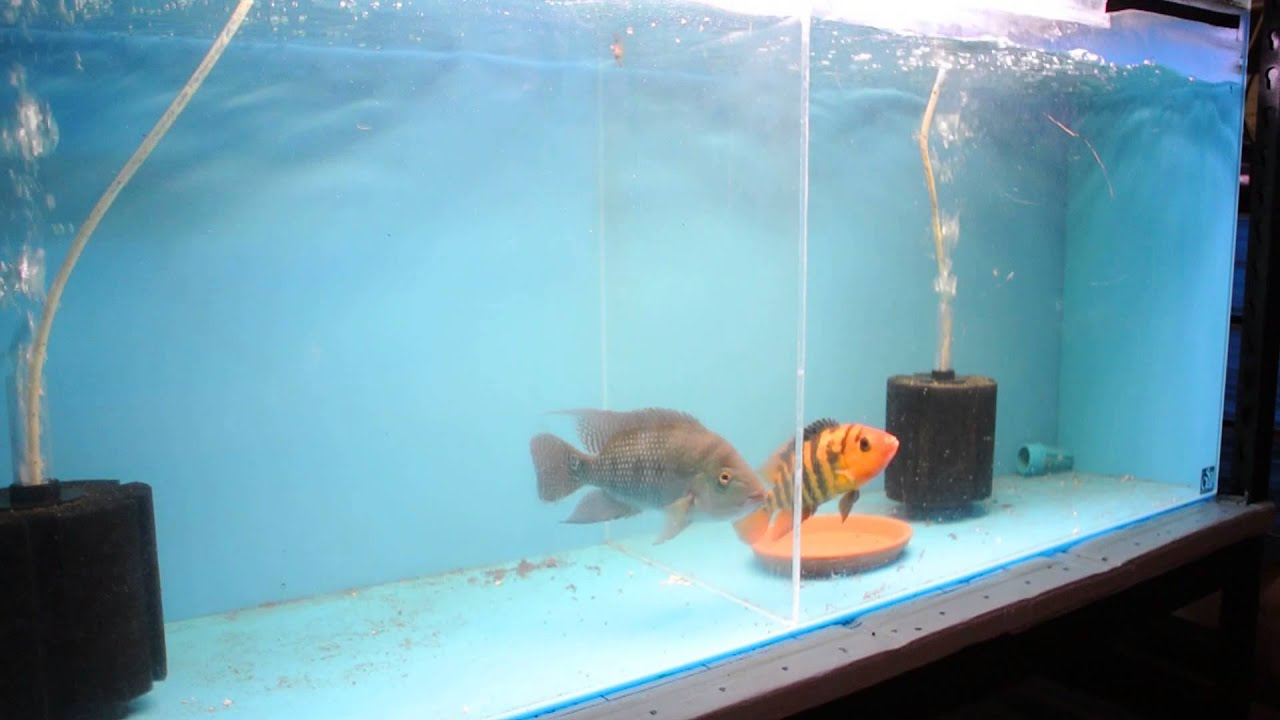 Fish aquarium for sale in karachi - For Sale F1 A Festae True Red Terror Cichlid Proven Breeding Pair Youtube