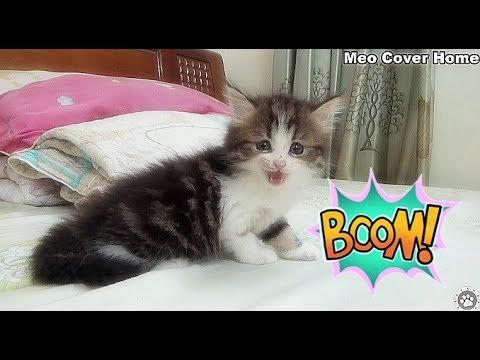My Kitten Super Cute Play With My Hand | Kittens Meowing 2018 | Meo Cover Home