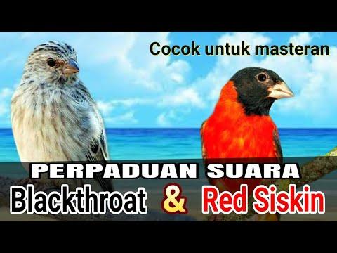 Masteran Blackthroat Kombinasi Red Siskin