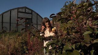 Picking Apples on an Alaskan Homestead