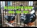 Murai Blorok Gacor Dor  Mp3 - Mp4 Download