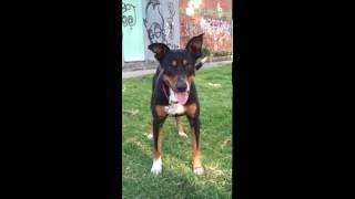 perro criollo cruce con doberman
