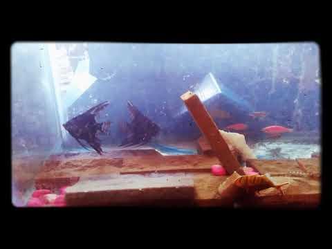 ANGEL FISH & ZEBRA DANIOS 🐟🐟