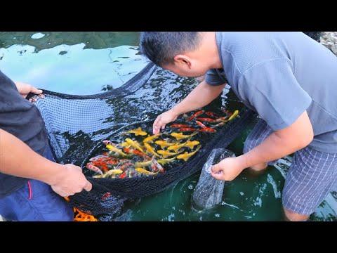 Backyard Farm│Selecting The Best Quality Koi Fish ( New Improvement)