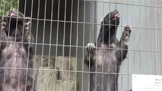 【貴重映像】世界一怖いもの知らずの動物ラーテルの生態!