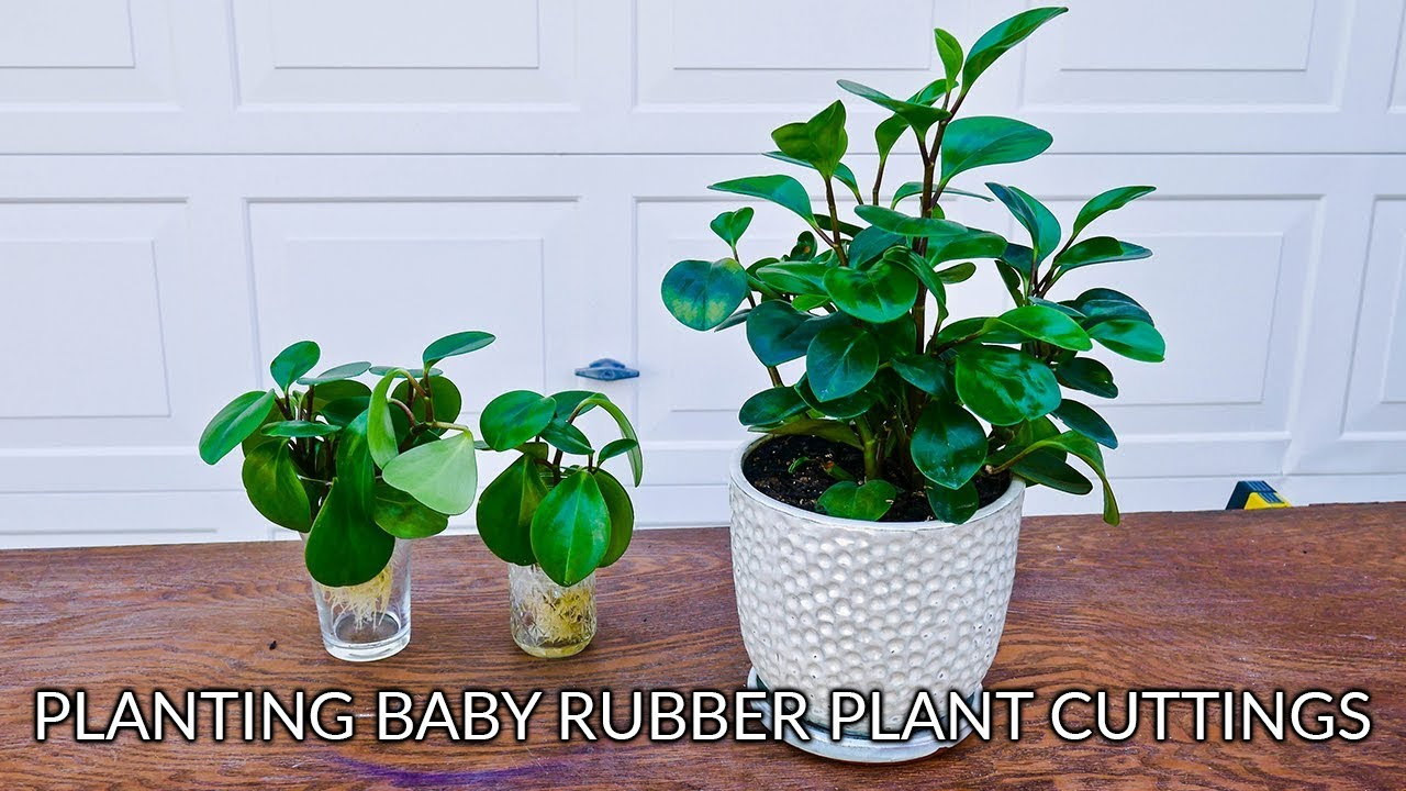 HOW TO PLANT BABY RUBBER PLANT (PEPEROMIA OBTUSIFOLIA) CUTTINGS House Plant Rubber on rubber plant light requirements, india rubber plant, rubber tree plant, rubber plant care tips, rubber floor covering, rubber succulents, rubber leaf plant, rubber freeze plug, tall rubber plant, rubber patio, baby rubber plant, green rubber plant, jade plant, rubber paint coating, american rubber plant, rubber looking plant, rubber plank flooring, rubber fruit plant, outdoor rubber plant,