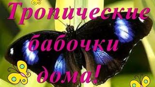 ВЛОГ ТРОПИЧЕСКИЕ БАБОЧКИ ДОМА! Подарок Алисе,  butterfly