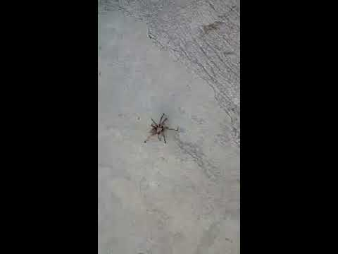 Cyprus Wildlife - European Tarantula in My Yard (Part 1)