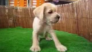 http://www.pets-hop.com ミニチュアシュナウザーとミニチュアダックス...
