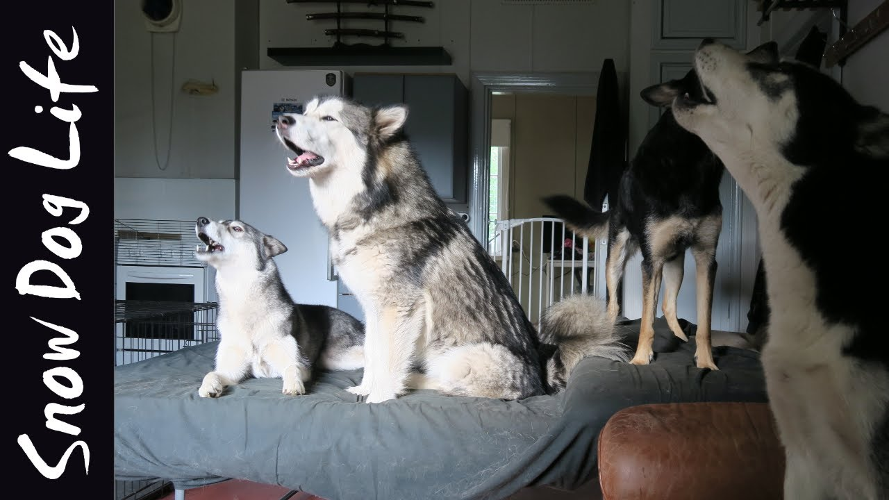 Snow Dog Life update! |Howling dogs|