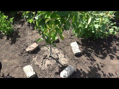 Как заставить грушу плодоносить