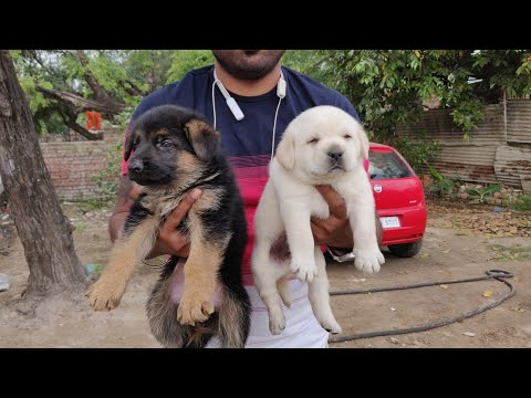 German Shepherd, Rottweiler,saint Bernard, Labrador , Doggyz World 9728011133