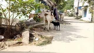 Cow video  street dog drinking milk