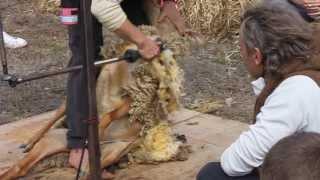 Sheep shearing at the Fete de la Rouge du Roussillon in Boisset, Languedoc
